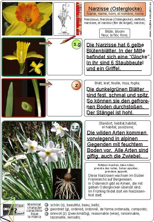 narcissus narzisse osterglocke daffodil narcisse el