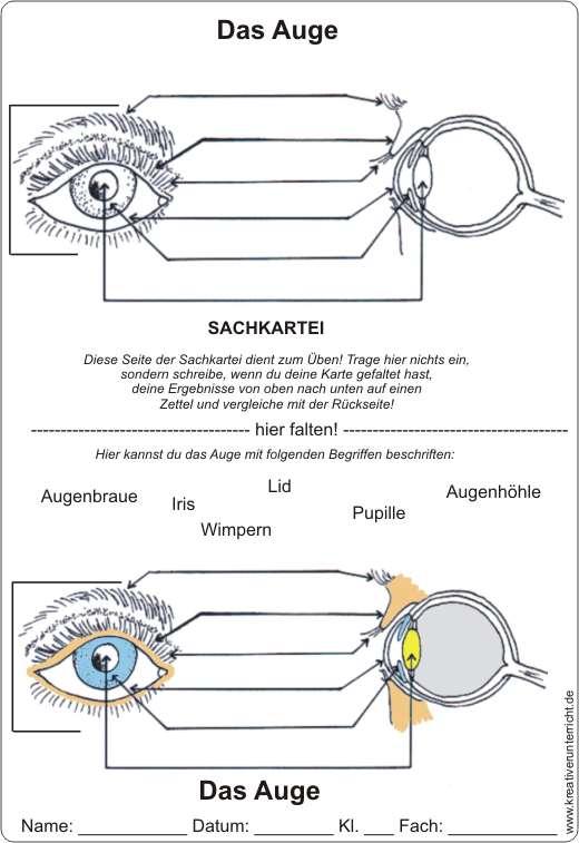 Aufbau Auge Arbeitsblatt Grundschule : Das auge