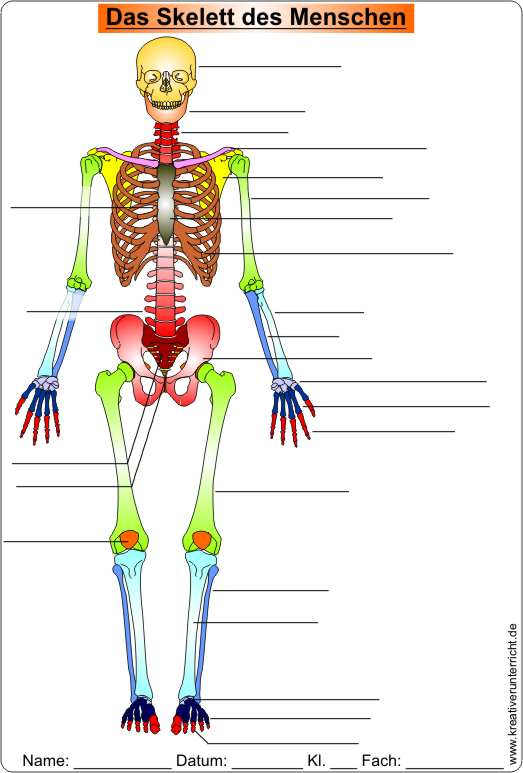 die knochen des skeletts skeleton of men video clip worksheet. Black Bedroom Furniture Sets. Home Design Ideas