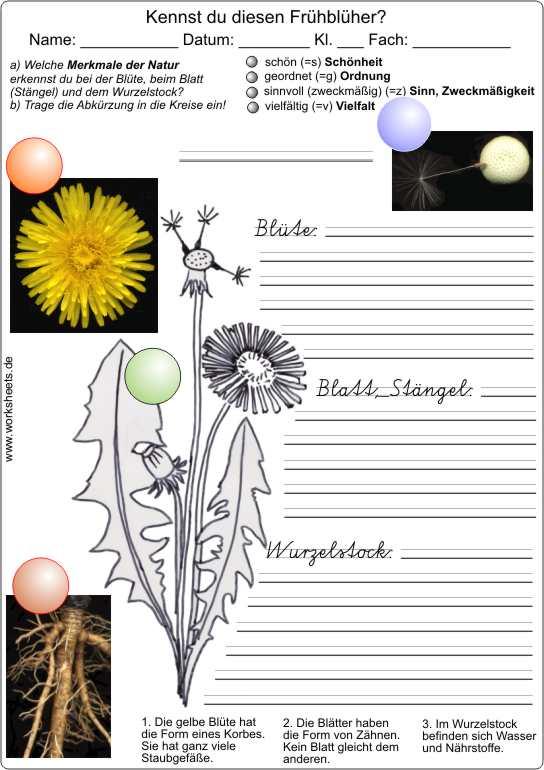 Der Löwenzahn - Die Pusteblume - Arbeitsblatt für die Grundschule