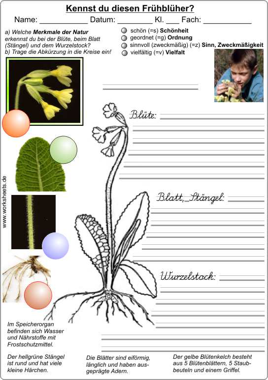 Ausgezeichnet Teile Einer Blume Arbeitsblatt Kindergarten Ideen ...