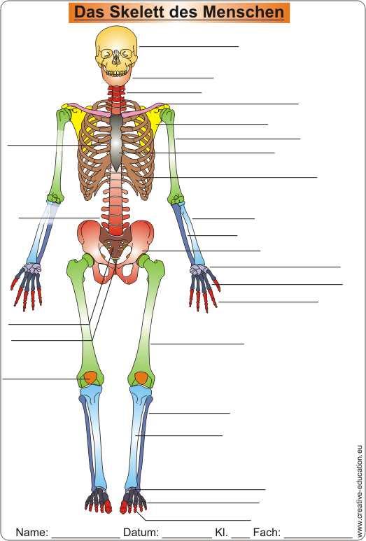 die knochen des skeletts skeleton of men video clip worksheet solution. Black Bedroom Furniture Sets. Home Design Ideas