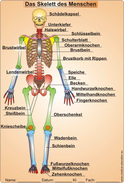 Die Knochen des Skeletts skeleton of men Video Clip Worksheet